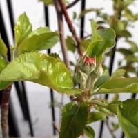 桜、梨、桑、林檎