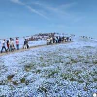 ひたちなか海浜公園・ネモフィラの丘