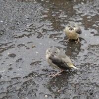 鳥さんピヨピヨ