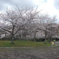 桜・・・深田公園