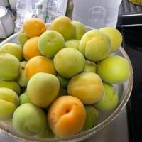 朝から梅の収穫です!