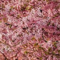 2021/3/6 妙林寺の河津桜