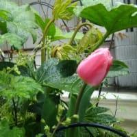 雨にぬれてチューリップ咲いてた