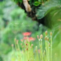 雨の彼岸花;過去写真