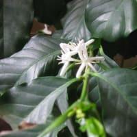 珈琲の花が咲きました(⋈◍>◡<◍)。✧♡