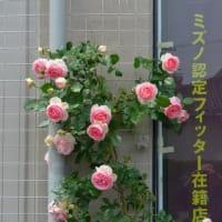 薔薇が満開。