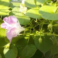 自家製「八重朝顔」が、いっぱい咲いていました^^♪