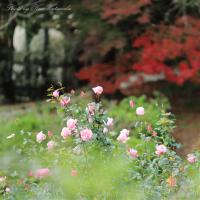 晩秋のバラ園