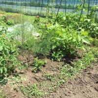 2020夏野菜の成長ぶり