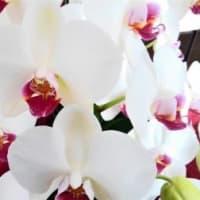 【日】初春の胡蝶蘭
