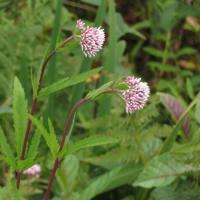 湿原の花たち