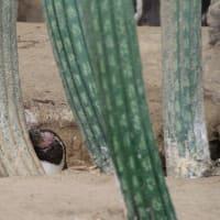 穴掘りペンギンの巣籠もり