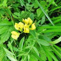 伊吹山の夏花を訪ねて!・・・スカイテラス 高山植物 野鳥