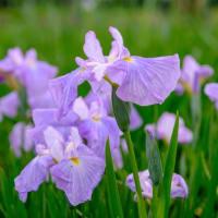 【小岩菖蒲園】江戸川区小岩菖蒲園の5/23/2021の様子 Visited Koiwa Iris Garden, Edogawa City, Tokyo【X-T4/X-E4】