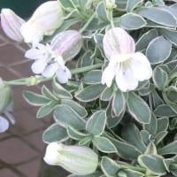 シレネ・ナッキーホワイトの花は