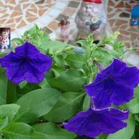 秋社に濃紫星6番7番咲いて