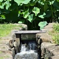 千葉公園の大賀ハス ・・・ の花散歩