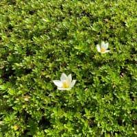 オサンポ walk - 植物plant: アタマを出す the heads are popping out of the bush