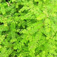コミカンソウ     草の森に住む妖精のデザート      東京都江東区都立の森