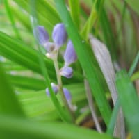 ヒメヤブラン(姫薮蘭)が今年は7株咲きました、2020。