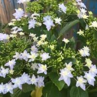 唐夾竹桃の花