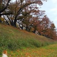 桜の名所は 秋もきれい 京都背割公園