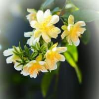 咲くやこの花館で サボテンのご先祖様 モクキリンの花が咲いていました♪
