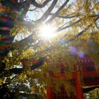 【市川】色づいた銀杏の葛飾八幡宮  Visited Katsushika Hachimangu Shrine to see ginkgo trees. 【Fujifilm X-T4】