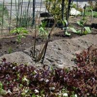 今年の小さい家庭菜園の始まり