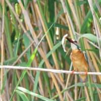 池のカワセミ(2)