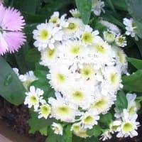11/3 エリア5:新しい寄せ植え鉢