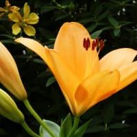 梅雨入りの頃から咲くユリが鑑賞価値が高い