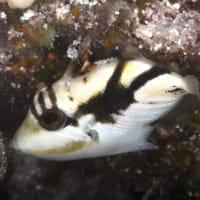 フムフムヌクヌクアプアアの幼魚