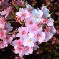 三浦海岸桜まつり2020(2020.02.21)