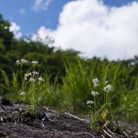 万年雪に咲く コアニチドリ と コオニユリ も