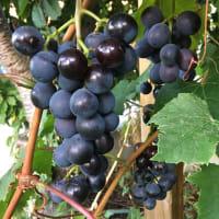 いよいよブドウが収穫期