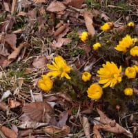 「春の訪れ!」 いわき市 フクジュソウの里にて撮影! 福寿草