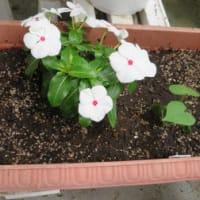 8月の寄せ植え鉢-H:8/3 リニューアル、8/8 野草を追加