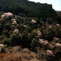 山江村、山桜満開です。