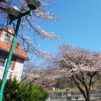 今日(25日)のドリームファームの桜