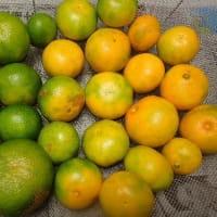 摘果ミカンで青みかんジュースとマーマレード作り/あいち芸術祭 閉幕後も山積する課題