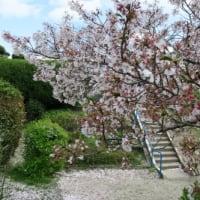 「桜の花びらが・・・」