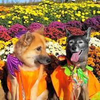 花畑 ハロウィン犬が 舞い降りた