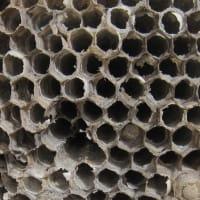 アシナガバチの巣をはずしました。