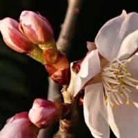 明正寺桜 開花