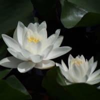 真っ白な睡蓮