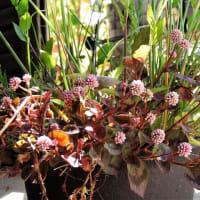 なまえのない鉢    草花の森           千葉県市川浦安アスファルト脇植物園・自宅