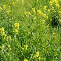 ✾ 菜の花の風・・・ 菜の花の味噌汁  新型・コロナウィルスを浄化する