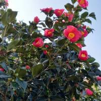~今朝の窯場、藪椿花盛り~