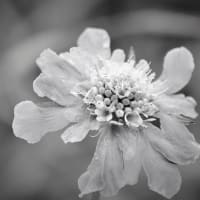 花翻す、夏花の朝